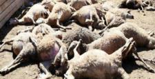 Koyun Sürüsüne Yıldırım Düştü