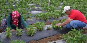 Dodurga'da Çilek Hasadı Başladı