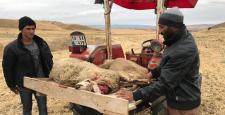 Kurtlar Koyun Sürüsüne Saldırdı