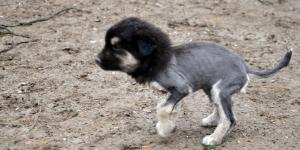 Aslan Görünümlü Köpek Yavrusu