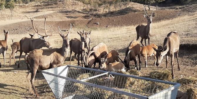 Sıklıktaki Yabani Hayvanlar Belediyeye Emanet
